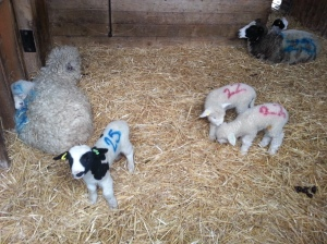 New lambs at Forty Hall Farm