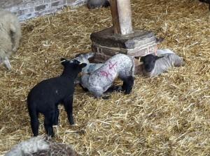 Lambs-FortyHallFarm2016-02